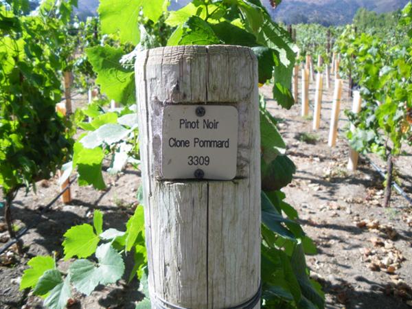 サンタ バーバラ ワイナリー紀行 ピノ・ノワールのブドウ畑