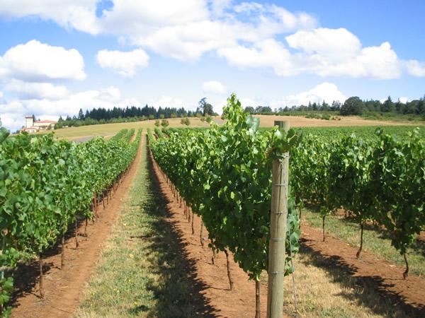 ドメーヌ セリーンのブドウ畑