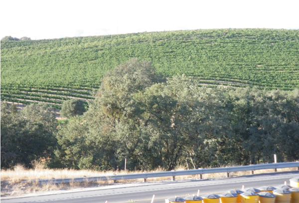 カリフォルニアワインカントリーの旅 ブドウ畑