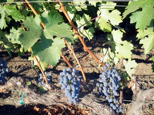 カリフォルニアワインカントリーの ヨントヴィルインの前にあるブドウ畑