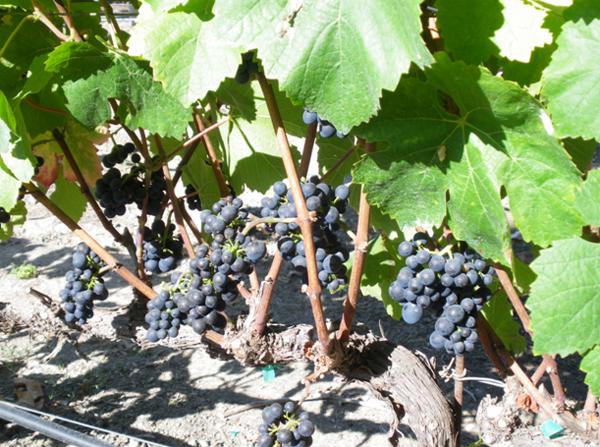 サンタ バーバラ ワイナリー紀行 あと一ヶ月ほどで収穫を迎えるピノ・ノワール