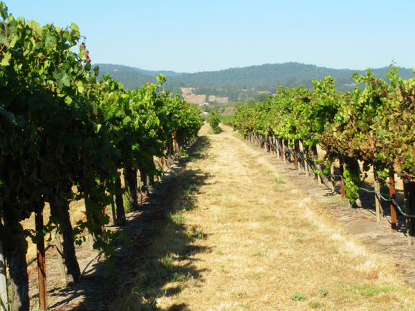 カリフォルニアワインカントリーの旅 ロドニー ストロングのブドウ畑