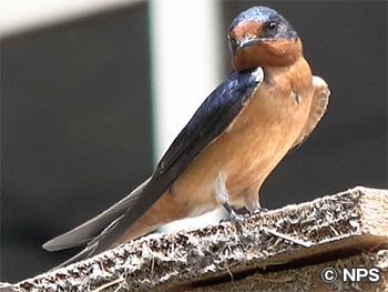 ツバメ Barn Swallow