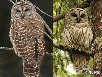 アメリカフクロウ Barred Owl