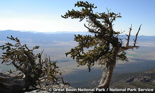 ブリストルコーン・パイン Bristlecone Pine