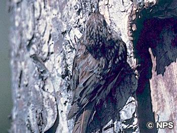 アメリカキバシリ Brown Creeper