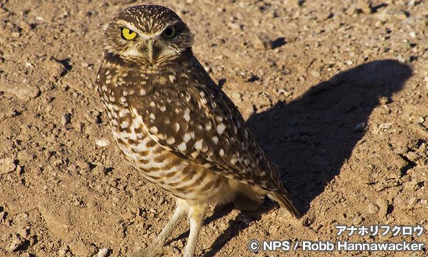 アナホリフクロウ Burrowing Owl