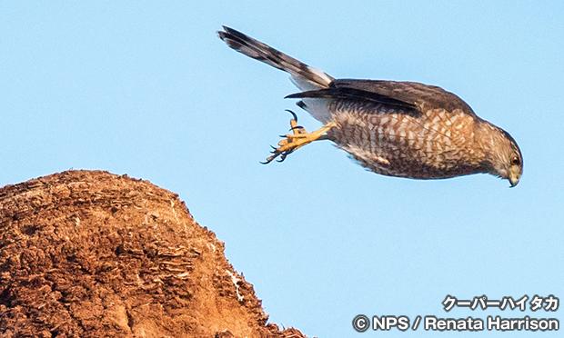 クーパーハイタカ Cooper's Hawk