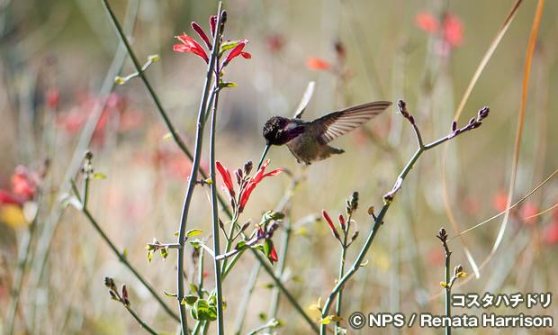 Costas_hummingbird-01