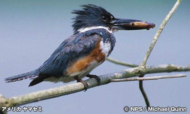 アメリカ ヤマセミ Belted Kingfisher