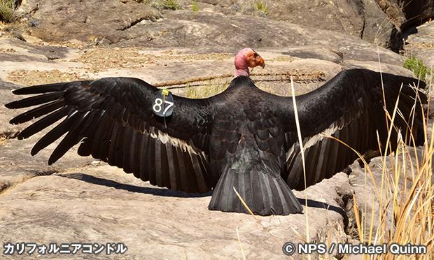 カリフォルニア・コンドル California Condor
