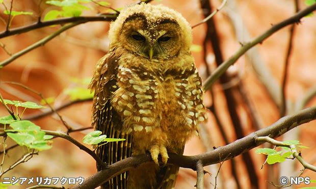 メキシカン・ニシアメリカフクロウ(Mexican Spotted Owl)
