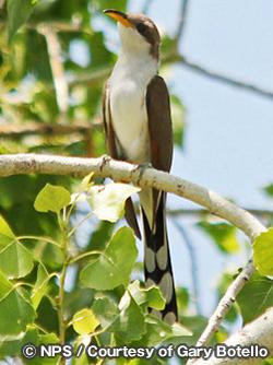 ウエスタン・キバシカッコウ Western Yellow-billed Cuckoo