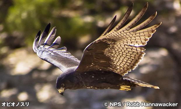 オビオノスリ Zone-Tailed Hawk