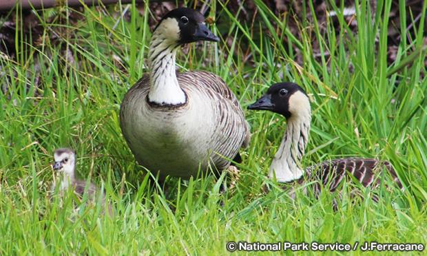ハワイガン Hawaiian geese