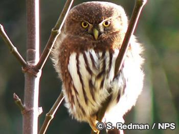 カリフォルニア スズメ フクロウ Northern Pygmy-Owl