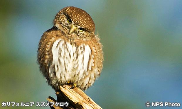 カリフォルニアスズメフクロウ Northern pygmy owl
