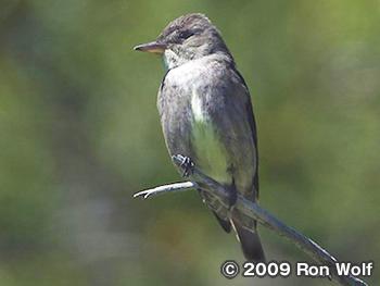 ナキヒタキモドキ Olive-sided Flycatcher