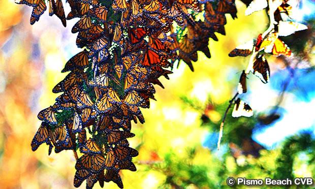 モナーク・バタフライ・グローブ Monarch Butterfly Grove