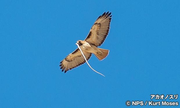 アカオノスリ Red-tailed Hawk