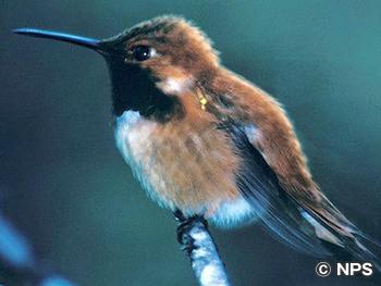 アカフトオハチドリ Rufous Hummingbird