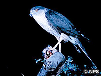 アシボソハイタカ Sharp-shinned Hawk