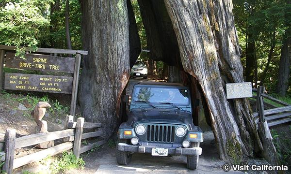 シュライン・ドライブスルー・ツリー Shrine Drive Thru Tree