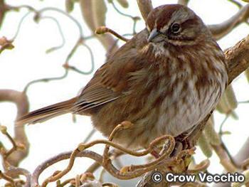 ウタスズメ Song Sparrow