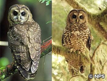 ニシアメリカフクロウ Spotted Owl