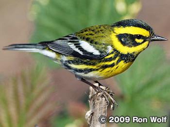 タウンゼントアメリカムシクイ Townsend's Warbler