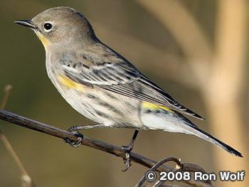キヅタアメリカムシクイ Yellow-rumped Warbler