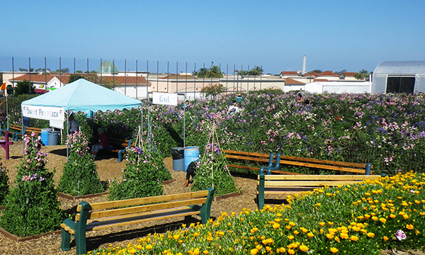 フラワーフィールド The Flower Fields at Carlsbad Ranch