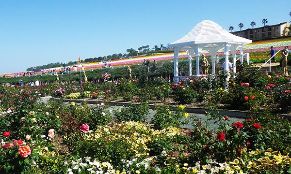 フラワーフィールド The Flower Fields at Carlsbad Ranch