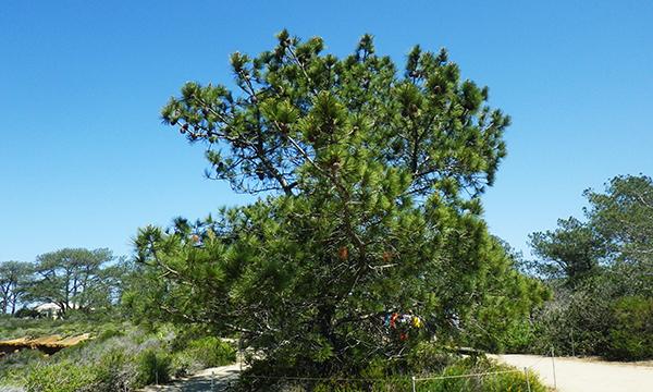 トーリー・パインズ・ステート保護区 Torrey Pines State Natural Reserve