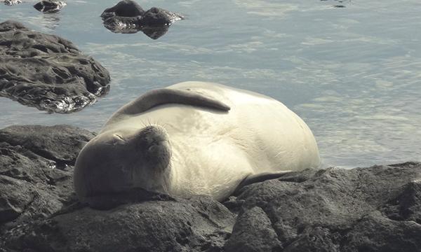 ハワイアン・モンク・シール Hawaiian monk seal