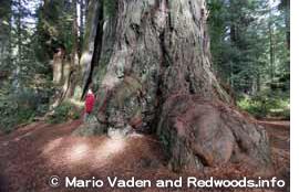 レッドウッドの巨木