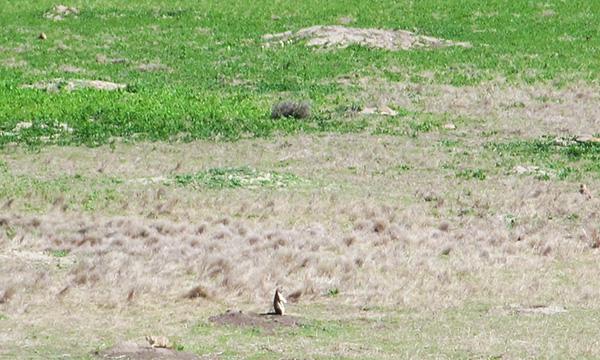 バッドランズ国立公園の野生動物